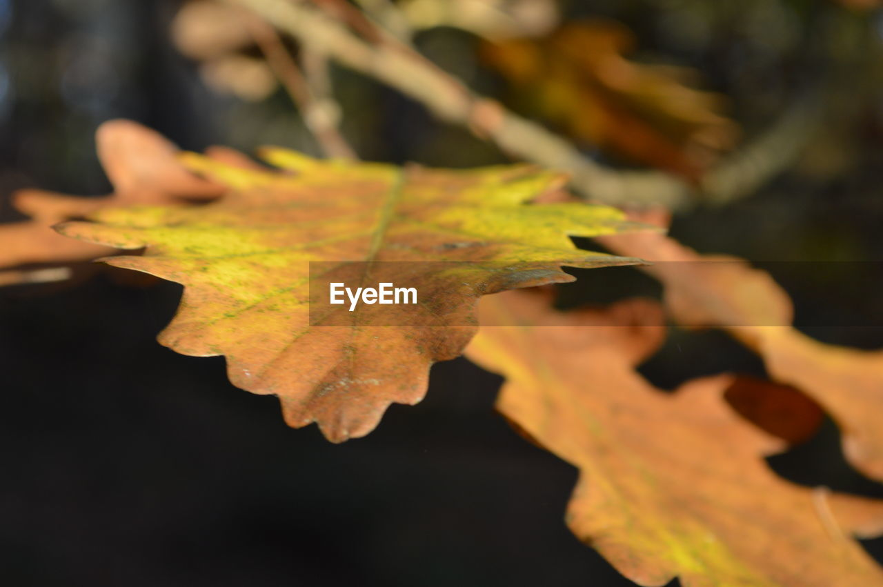 leaf, autumn, change, dry, close-up, focus on foreground, outdoors, maple leaf, nature, maple, day, water, beauty in nature, no people, fragility, growth