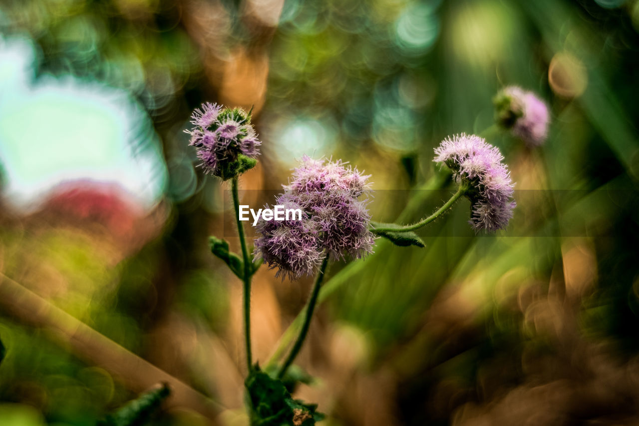 flower, plant, flowering plant, growth, fragility, vulnerability, beauty in nature, freshness, selective focus, close-up, nature, no people, flower head, day, petal, inflorescence, purple, outdoors, plant stem, botany