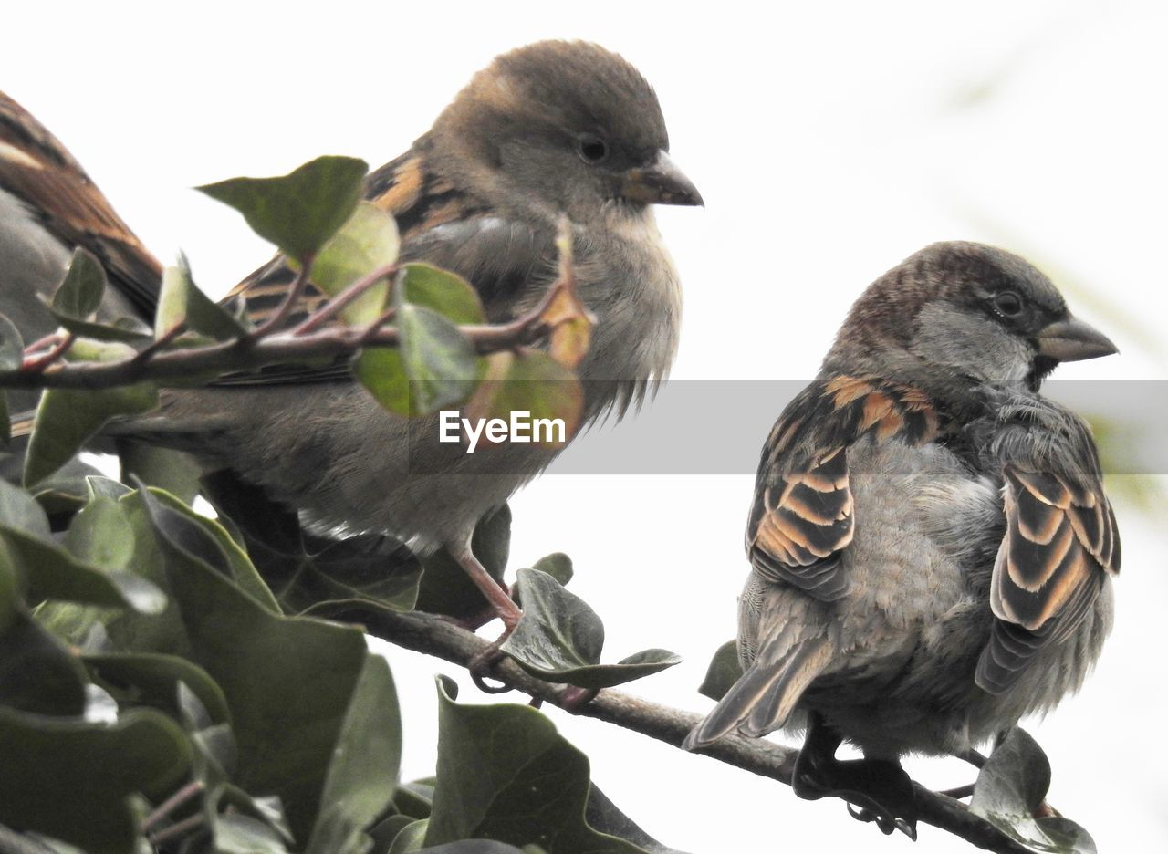 bird, vertebrate, animal themes, animal, animal wildlife, animals in the wild, group of animals, two animals, perching, nature, leaf, plant part, day, no people, close-up, plant, beak, low angle view, branch, outdoors, animal family