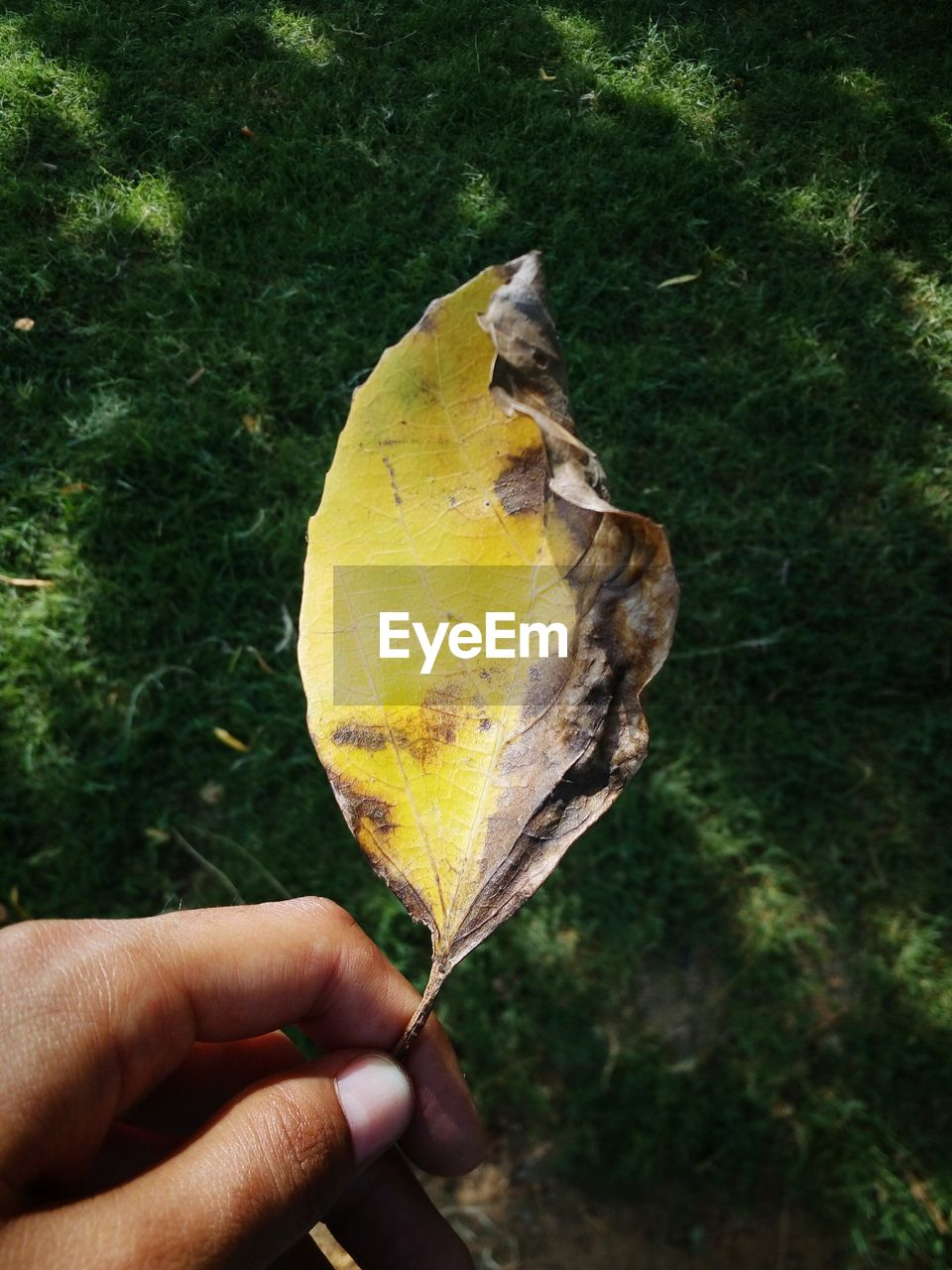 human hand, holding, leaf, human body part, autumn, one person, outdoors, yellow, day, close-up, personal perspective, real people, food and drink, change, focus on foreground, nature, tree, fruit, food, grass, freshness, people