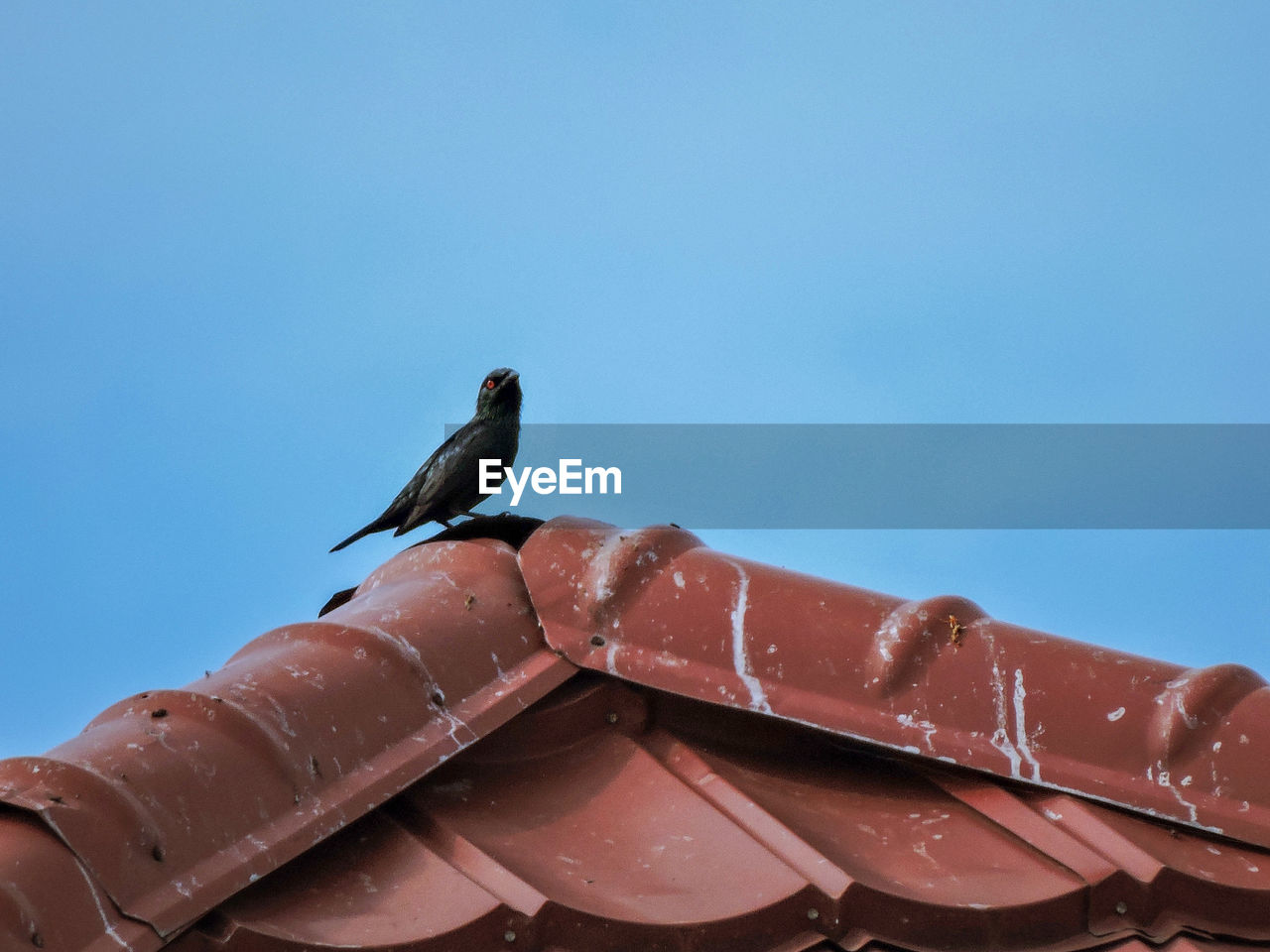 animal themes, animal, vertebrate, bird, animal wildlife, animals in the wild, sky, one animal, copy space, perching, clear sky, nature, day, no people, low angle view, blue, outdoors, metal, roof, roof tile