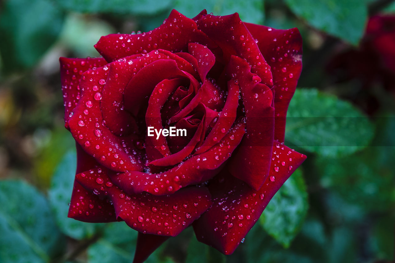 flower, red, nature, drop, petal, water, growth, beauty in nature, wet, rose - flower, flower head, fragility, freshness, love, plant, close-up, no people, blooming, focus on foreground, day, outdoors, raindrop