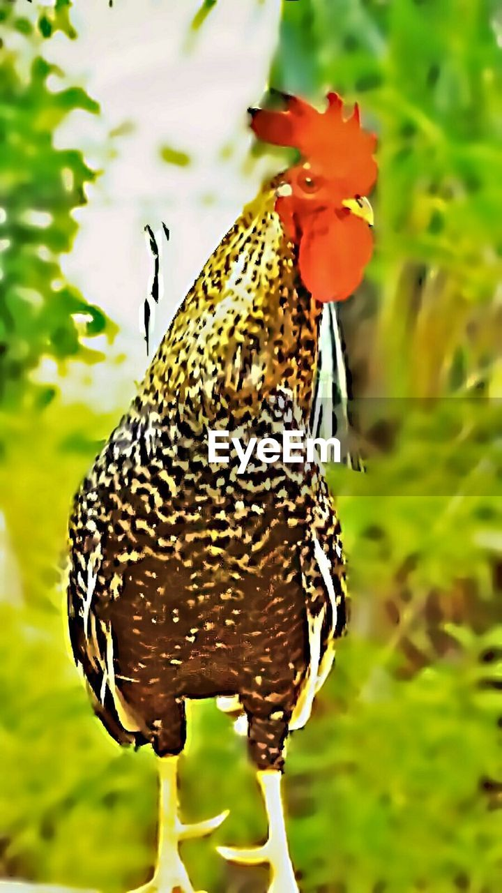 bird, animal themes, one animal, focus on foreground, chicken - bird, nature, animals in the wild, field, no people, livestock, outdoors, day, domestic animals, close-up, beauty in nature, mammal