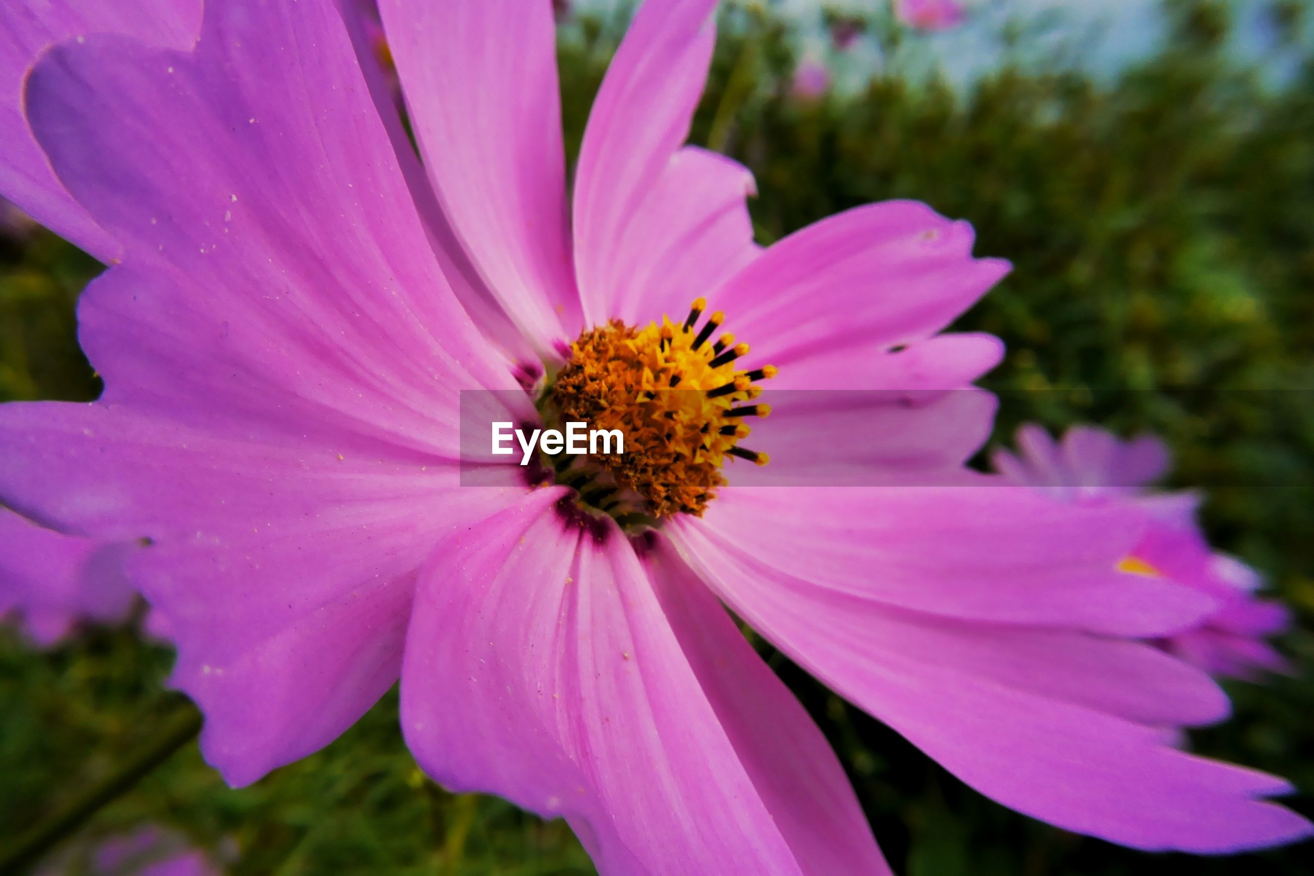 CLOSE-UP OF HONEY BEE POLLINATING ON PINK DAISY