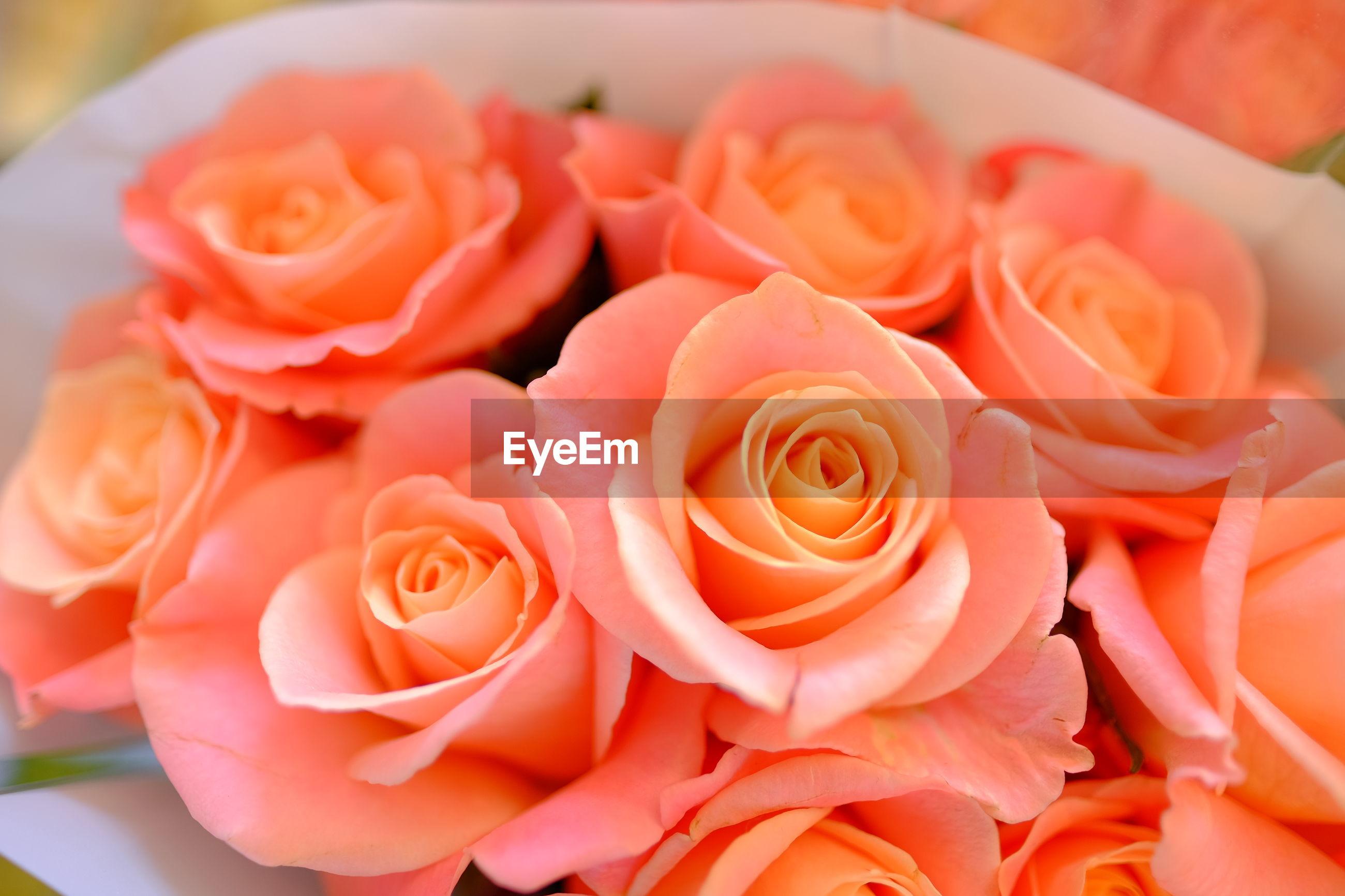 CLOSE-UP OF ROSES AGAINST ORANGE ROSE