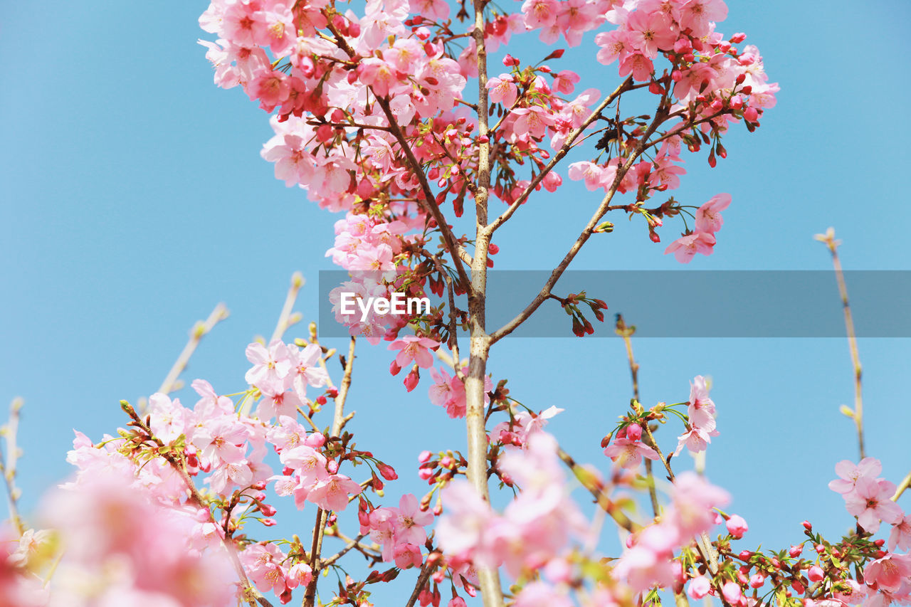 flowering plant, flower, plant, pink color, growth, freshness, beauty in nature, vulnerability, fragility, tree, blossom, low angle view, nature, branch, sky, springtime, cherry blossom, petal, no people, day, cherry tree, flower head, outdoors, plum blossom, bunch of flowers, spring
