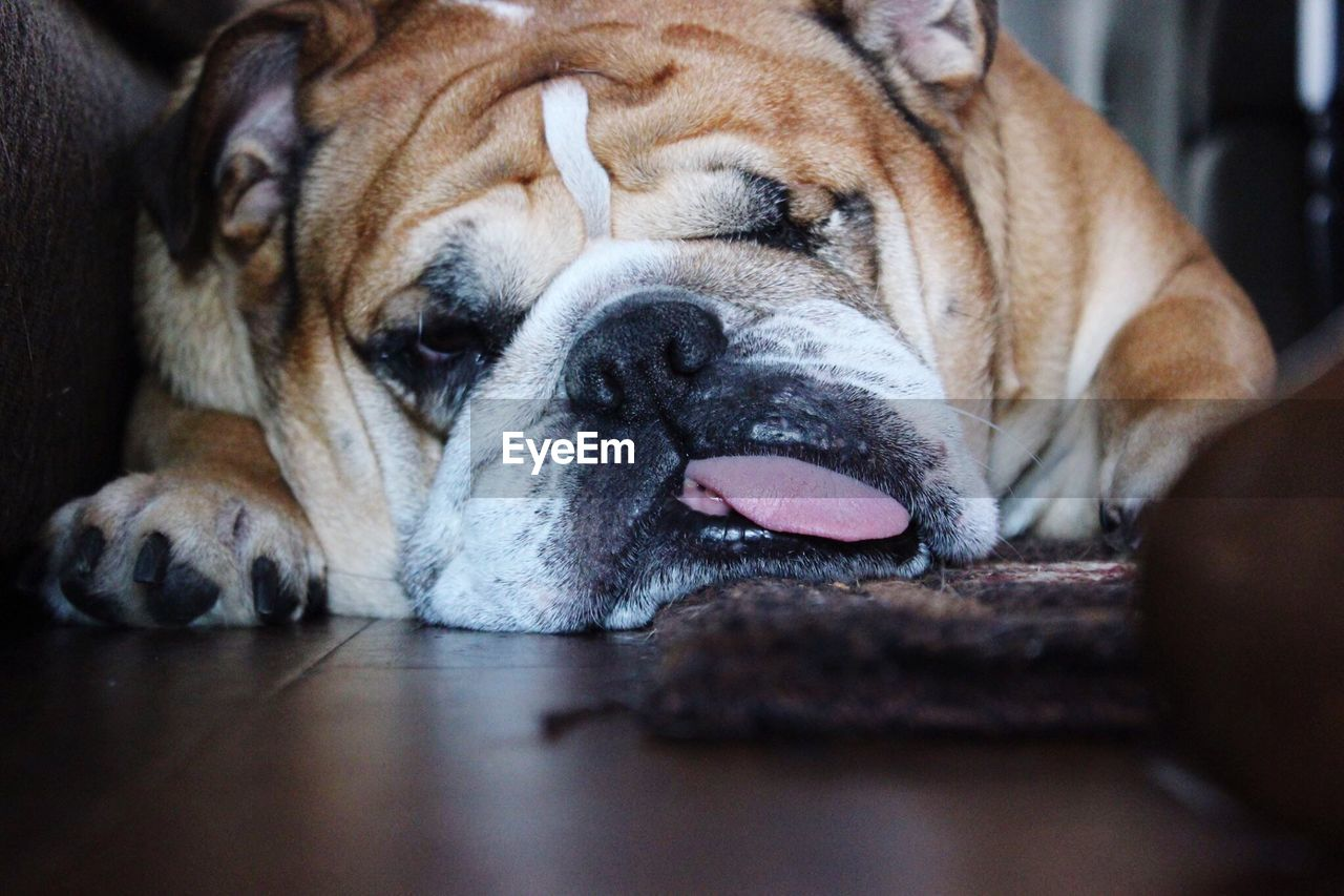 Close-up portrait of dog lying down on floor