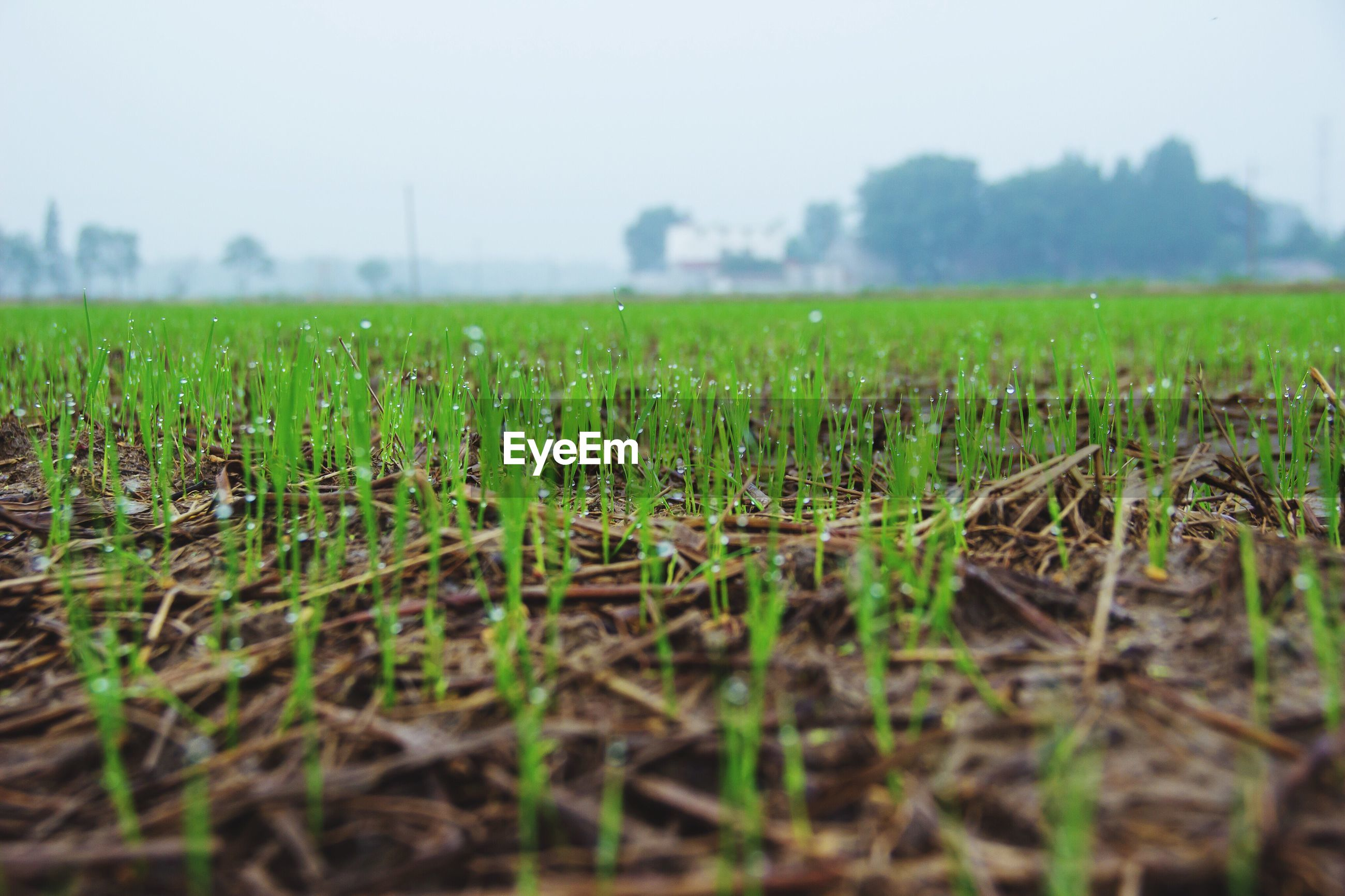 green color, field, growth, grass, landscape, selective focus, nature, close-up, rural scene, farm, clear sky, tranquility, sky, surface level, beauty in nature, scenics, tranquil scene, plant, focus on foreground, agriculture, day, outdoors, remote, solitude, no people, majestic, blade of grass, green, grassy