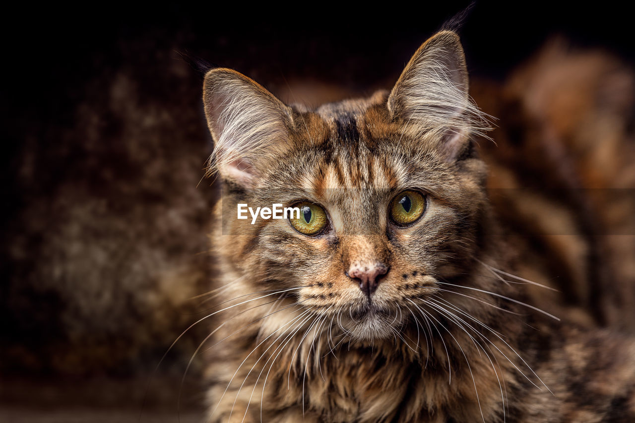 mammal, one animal, cat, feline, pets, domestic animals, portrait, whisker, domestic cat, vertebrate, domestic, looking at camera, animal body part, close-up, focus on foreground, no people, animal eye, maine coon cat, yellow eyes