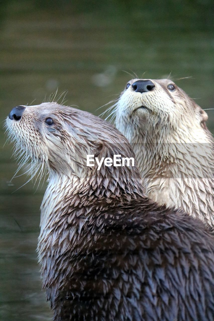 animal themes, animal, animal wildlife, animals in the wild, otter, mammal, underwater, one animal, vertebrate, no people, close-up, focus on foreground, water, day, nature, outdoors, wet, whisker, animal head