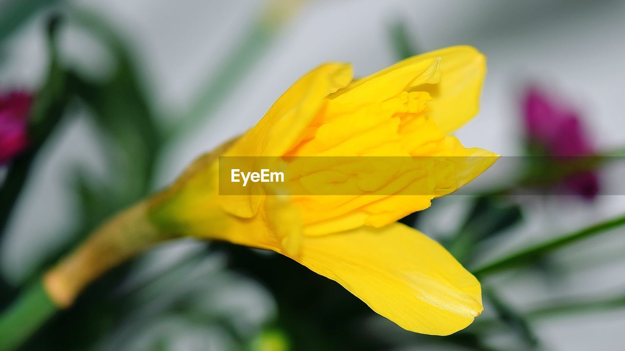 flower, yellow, petal, fragility, nature, freshness, beauty in nature, flower head, selective focus, growth, blossom, vibrant color, springtime, no people, close-up, plant, outdoors, day, blooming