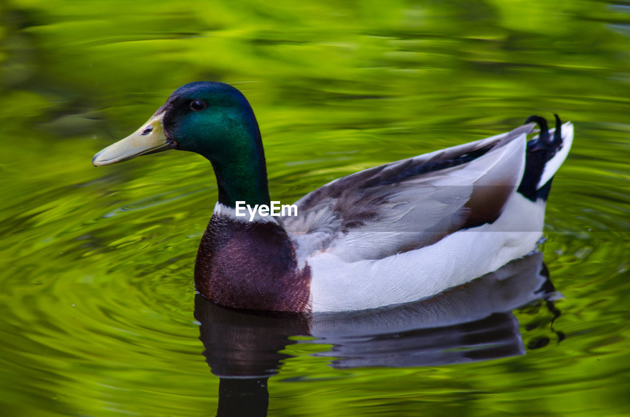 animal wildlife, animals in the wild, bird, animal themes, animal, vertebrate, lake, one animal, water, nature, no people, swimming, duck, poultry, day, green color, close-up, beauty in nature, waterfront, outdoors