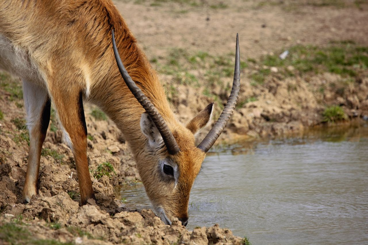 animal themes, animal, animal wildlife, one animal, mammal, animals in the wild, no people, vertebrate, nature, day, deer, focus on foreground, horned, land, water, domestic animals, animal body part, drinking, outdoors, herbivorous, animal head