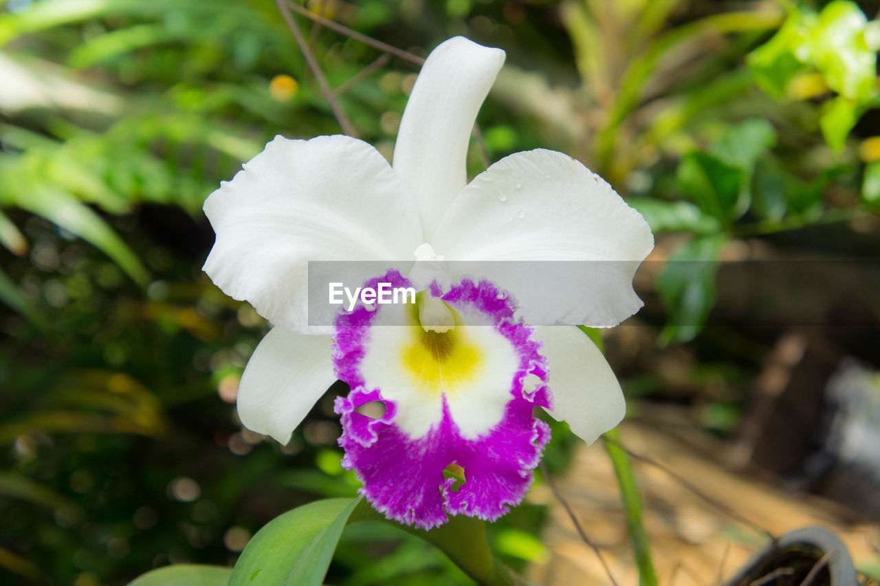 flower, petal, fragility, growth, flower head, beauty in nature, nature, day, freshness, focus on foreground, outdoors, plant, white color, blooming, close-up, no people, petunia