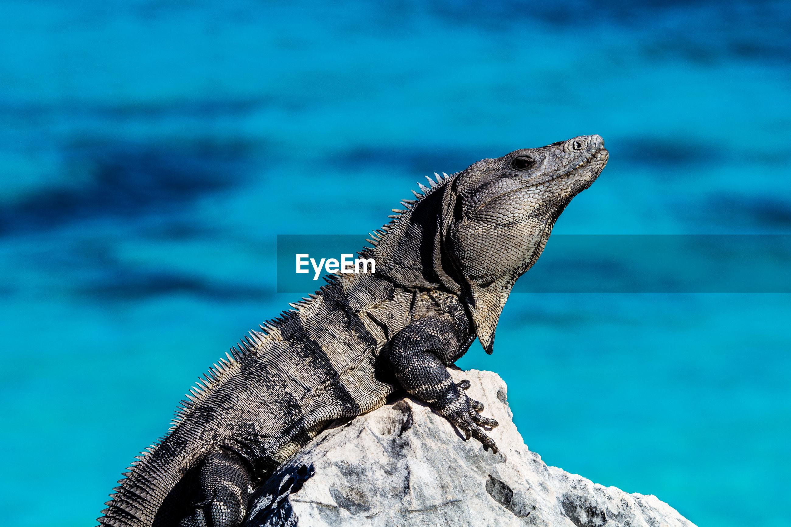 Marine iguana on rock against sea