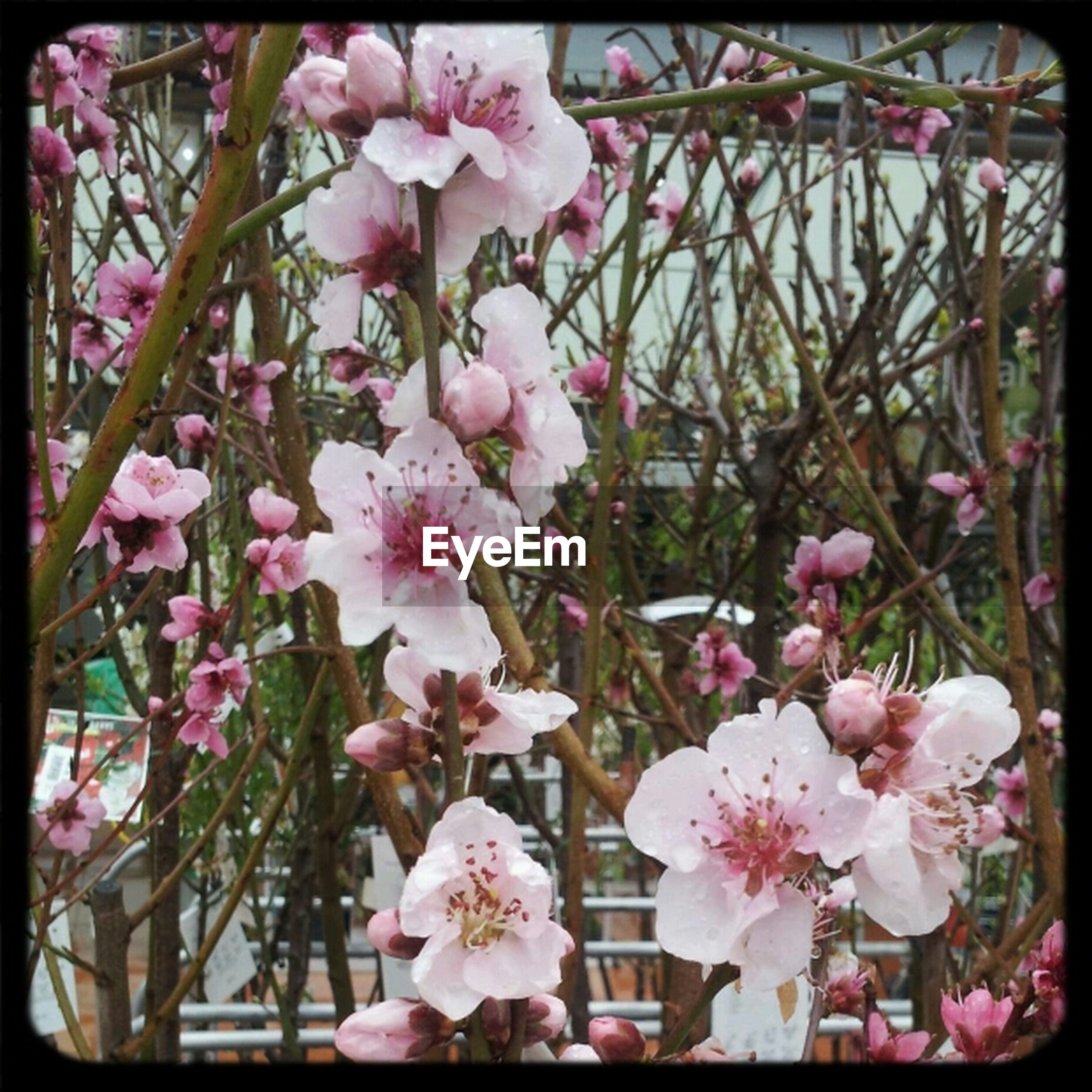 flower, transfer print, freshness, pink color, fragility, growth, branch, auto post production filter, tree, beauty in nature, low angle view, blossom, petal, nature, blooming, cherry blossom, in bloom, pink, close-up, day