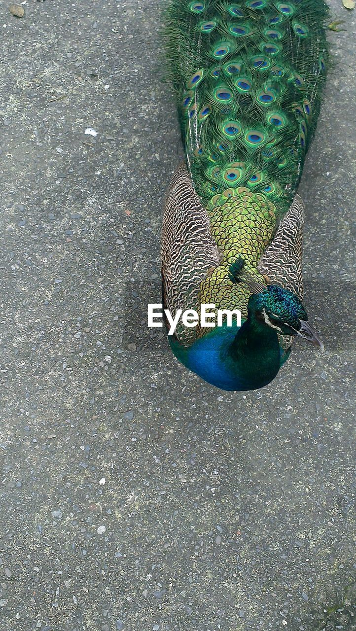 Directly Above View Of Peacock On Footpath