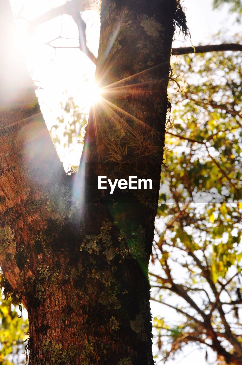 tree, tree trunk, lens flare, sunlight, sun, sunbeam, growth, nature, low angle view, outdoors, day, branch, beauty in nature, no people, close-up, sky