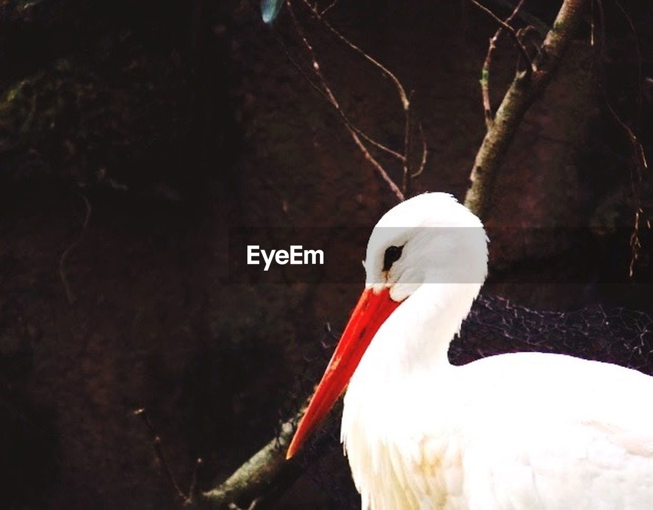 one animal, animals in the wild, animal themes, white color, bird, lake, nature, animal wildlife, white stork, day, beak, stork, no people, outdoors, water, close-up, swan