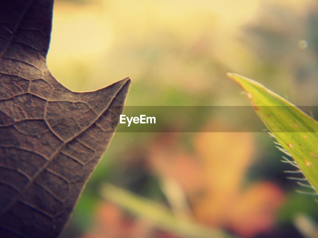 leaf, autumn, change, nature, focus on foreground, close-up, dry, outdoors, day, no people, maple leaf, maple, plant, beauty in nature, fragility