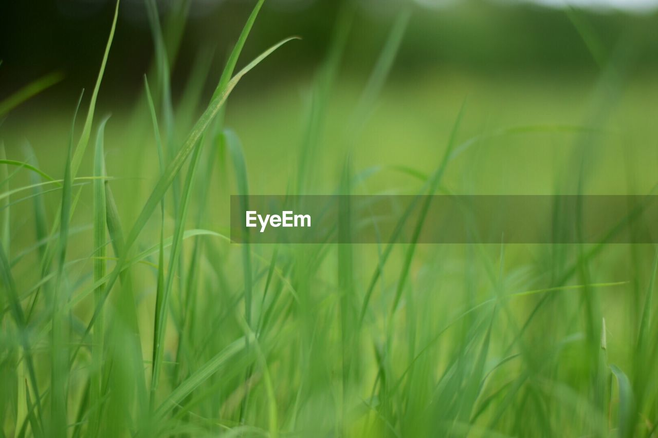 grass, growth, green color, field, nature, selective focus, crop, plant, tranquility, day, ear of wheat, outdoors, agriculture, beauty in nature, no people, close-up, wheat, freshness