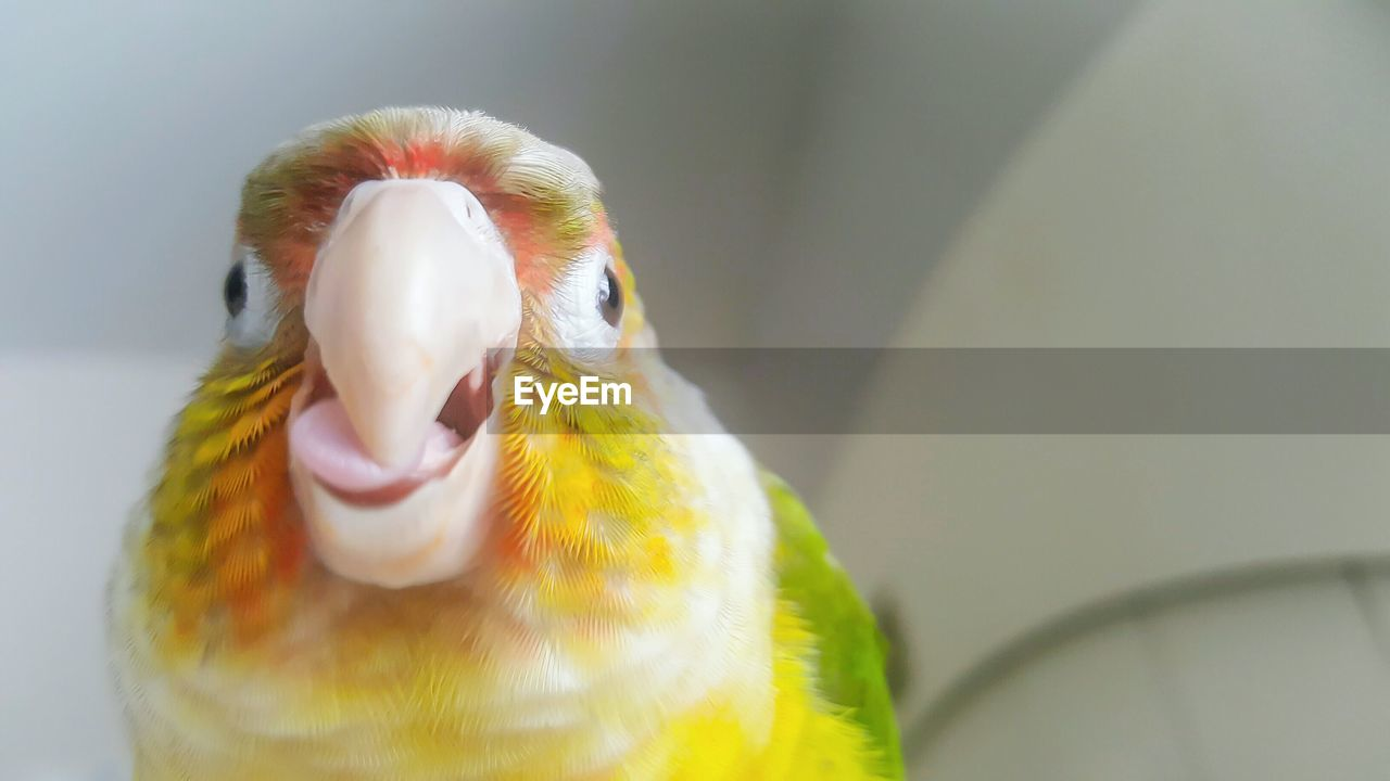 bird, animal themes, one animal, beak, parrot, animals in the wild, close-up, no people, animal wildlife, day, indoors, nature