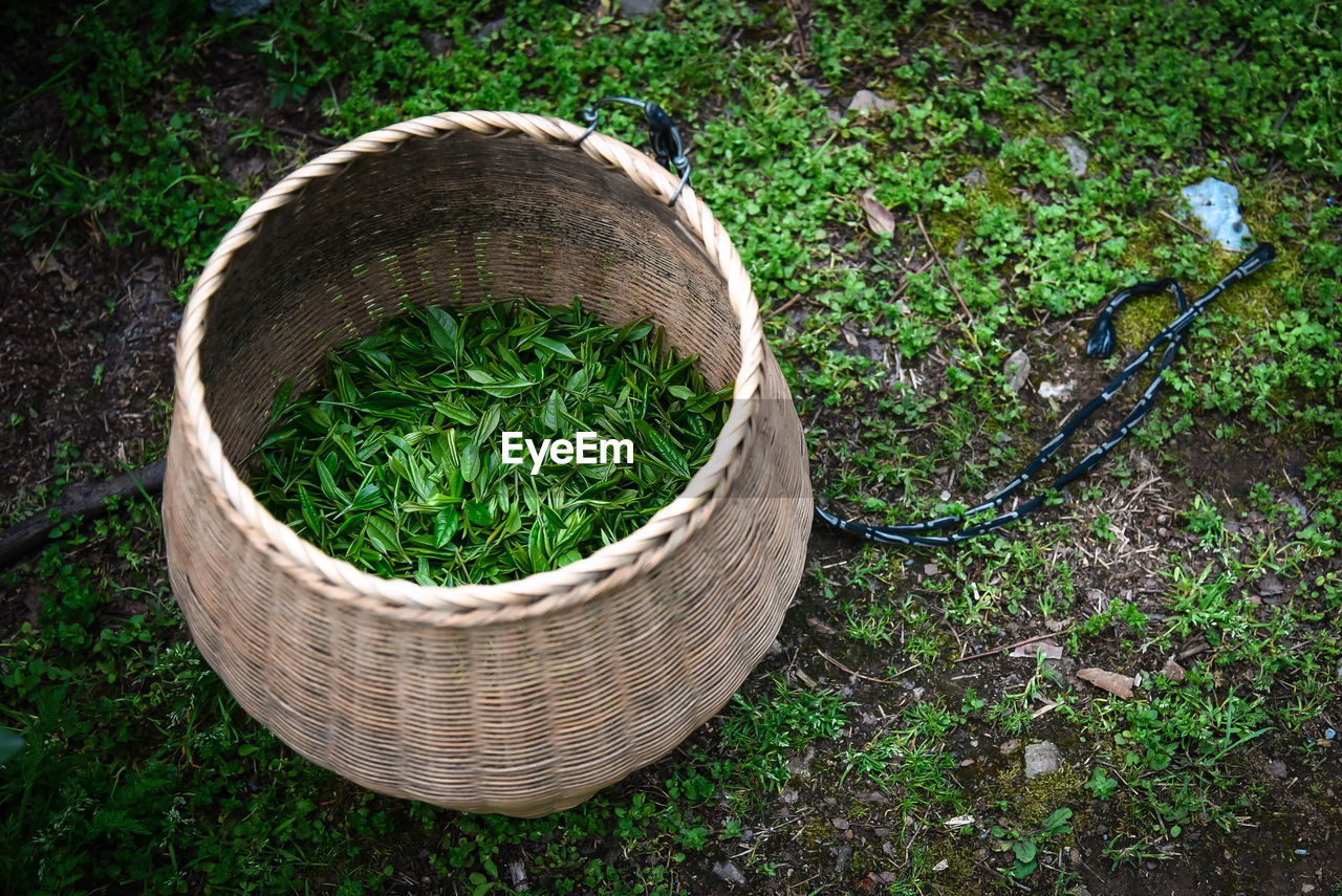 High angle view of tea crops in basket on land