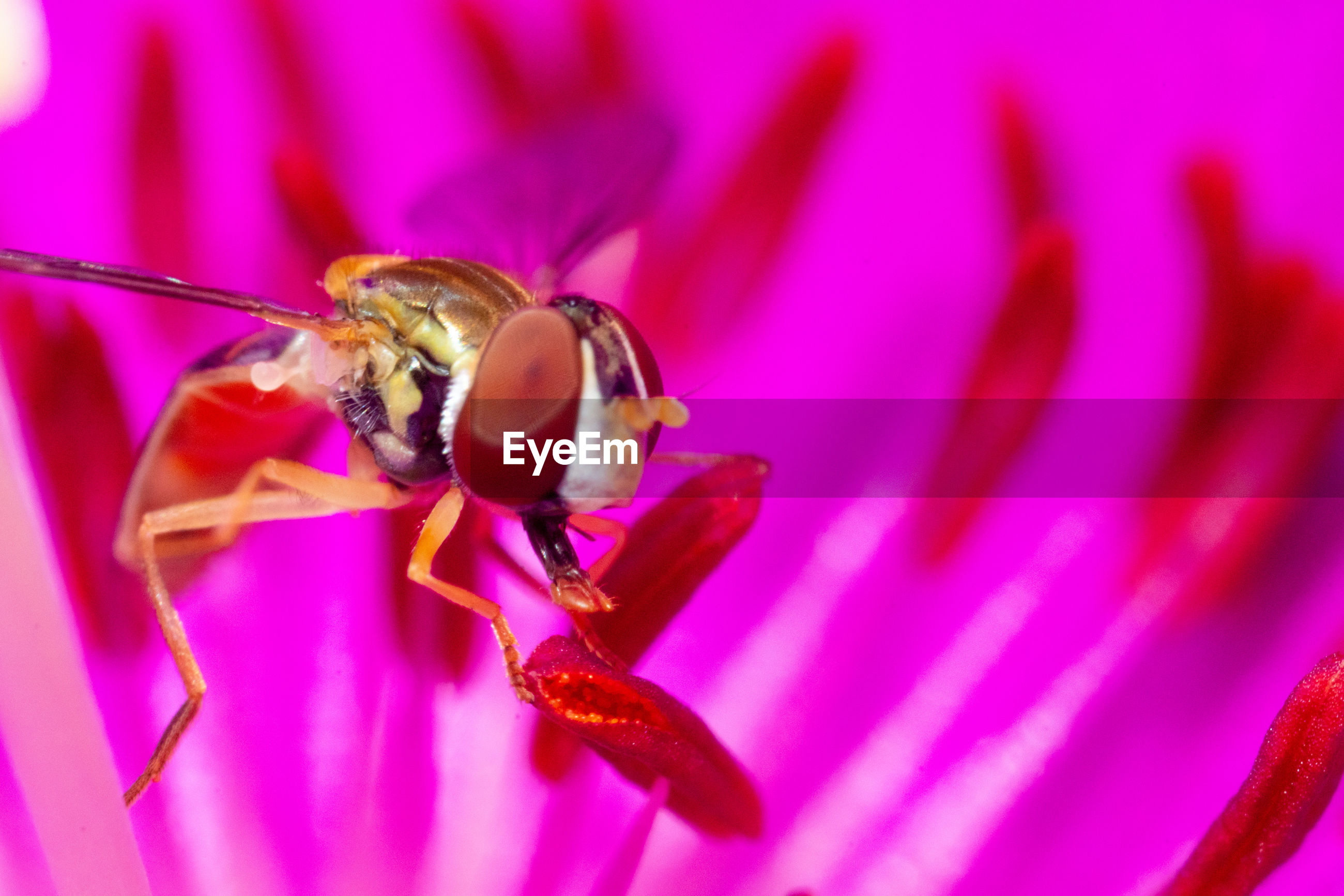 A syrphid fly on a rock purslane flower.