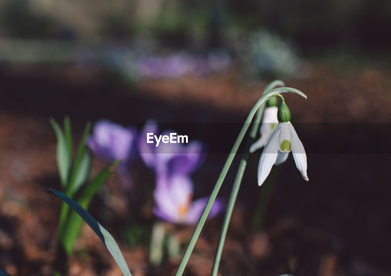 flowering plant, flower, vulnerability, fragility, plant, freshness, beauty in nature, petal, growth, close-up, flower head, nature, inflorescence, focus on foreground, purple, snowdrop, no people, day, field, land, iris, outdoors, crocus, springtime