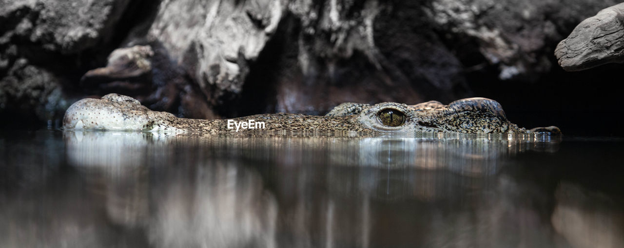 animal themes, one animal, animal, animal wildlife, animals in the wild, water, selective focus, rock, rock - object, reptile, no people, crocodile, solid, vertebrate, nature, reflection, day, outdoors, animal body part, animal head, animal eye