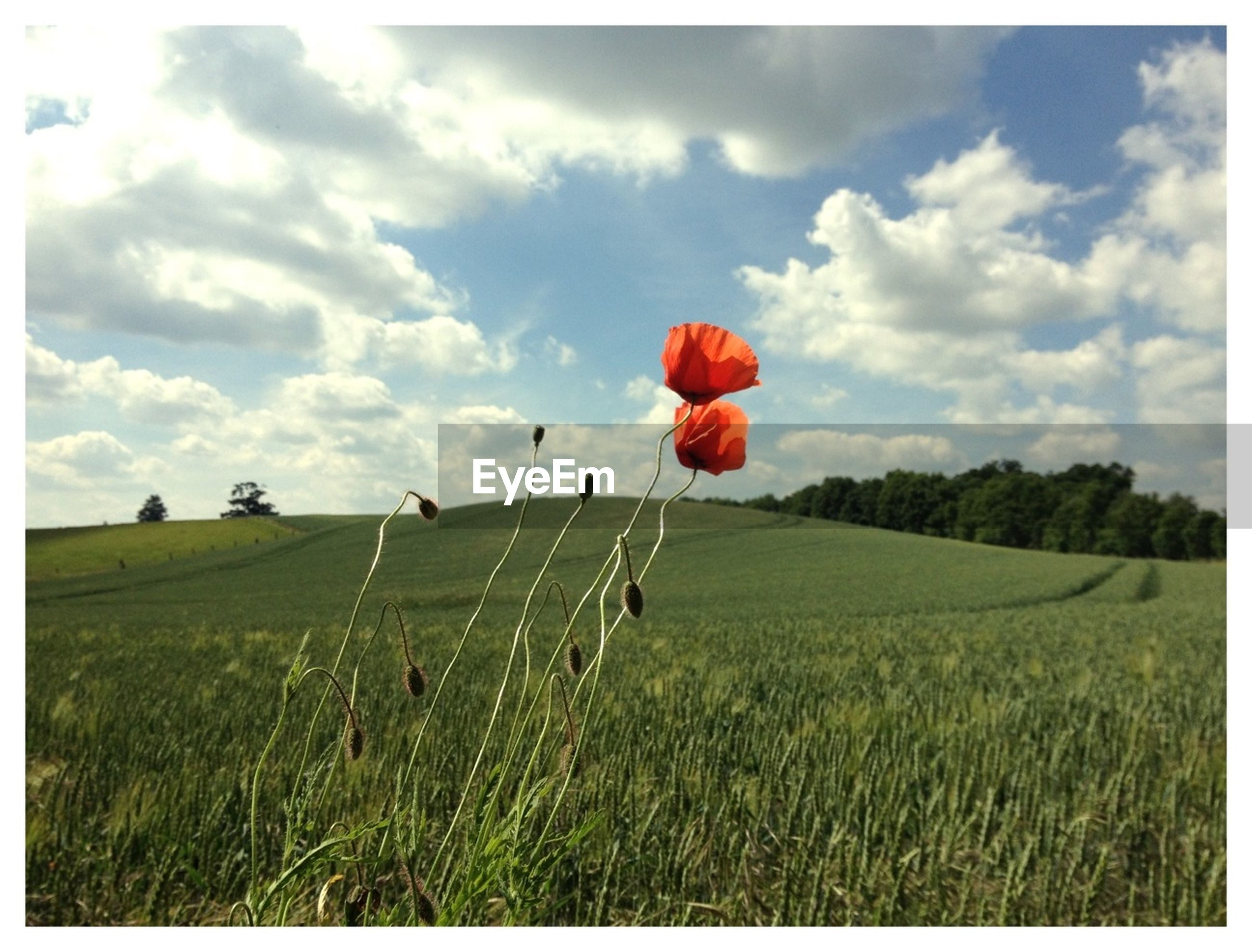 Red poppies blooming on grassy field against cloudy sky