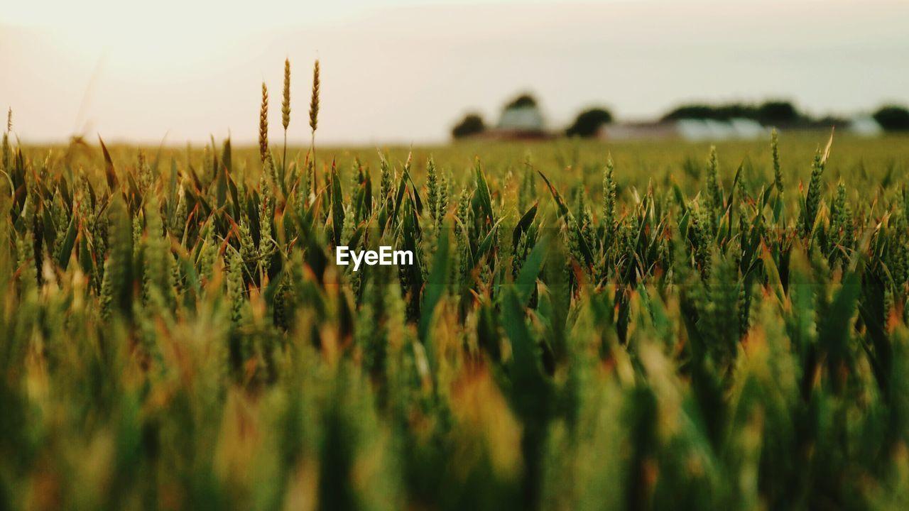 Wheat plants in field