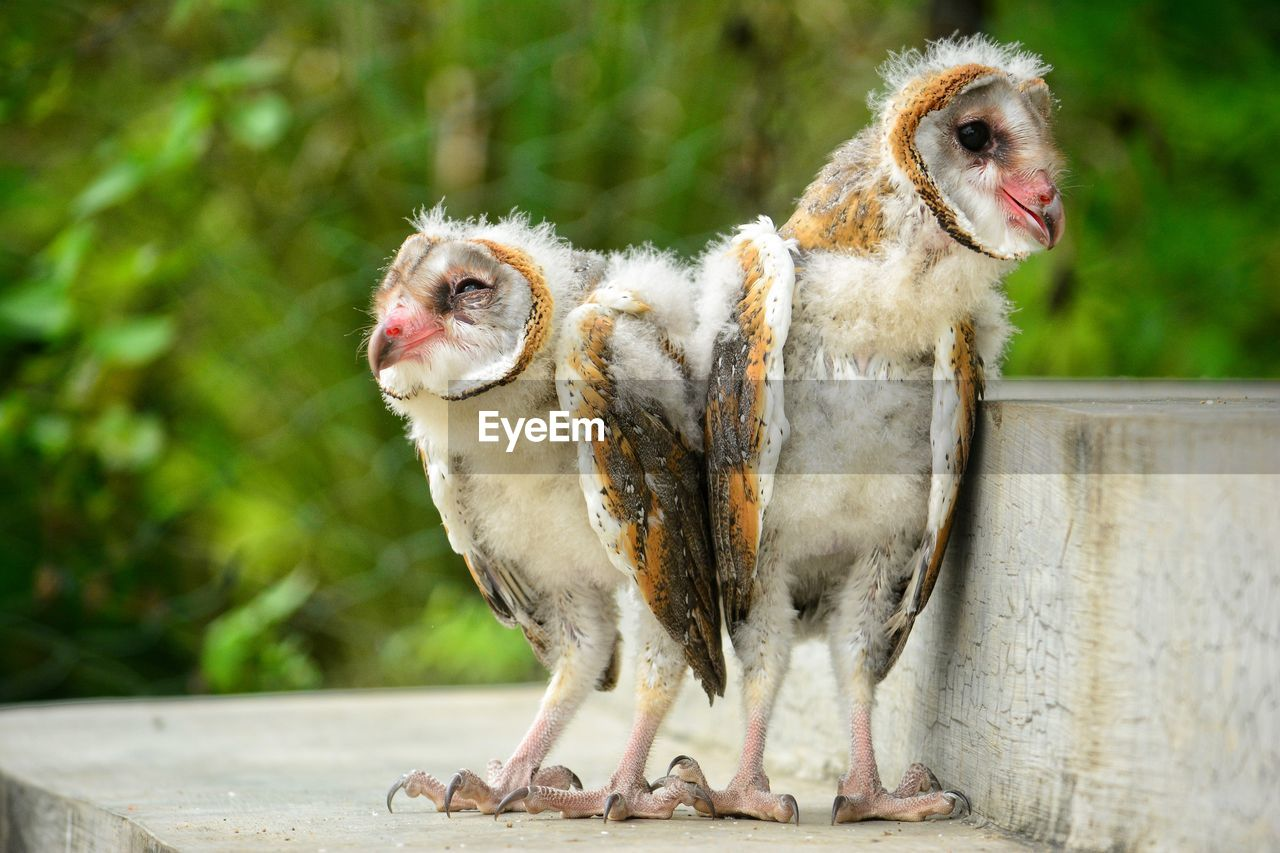 Owls perching on concrete