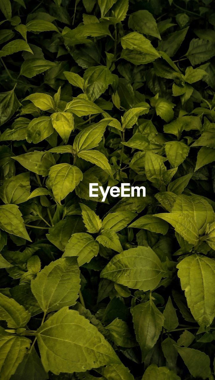 leaf, plant part, green color, growth, plant, full frame, nature, no people, backgrounds, beauty in nature, freshness, food and drink, close-up, food, day, high angle view, outdoors, leaves, healthy eating, abundance, herb