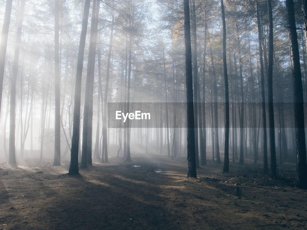 tree, forest, plant, land, tranquility, fog, woodland, beauty in nature, nature, no people, tranquil scene, trunk, tree trunk, day, non-urban scene, scenics - nature, outdoors, environment, landscape, hazy