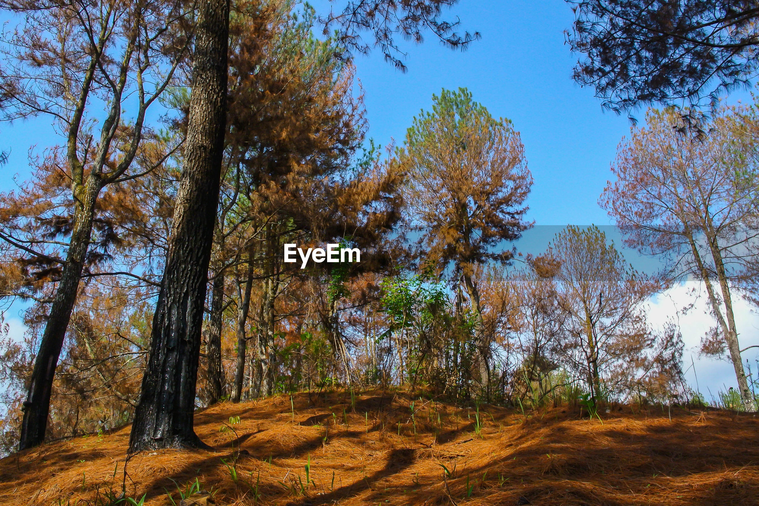 TREES IN FOREST AGAINST CLEAR SKY