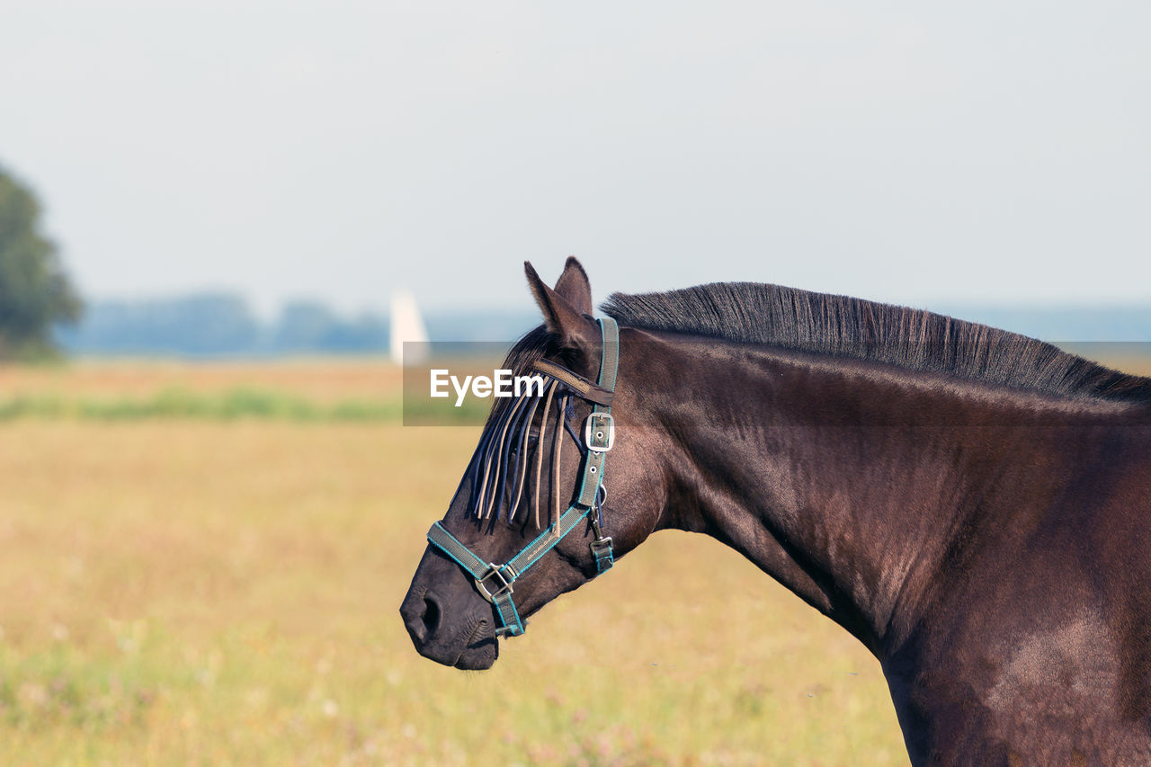 Side Of Horse Wearing Bridle