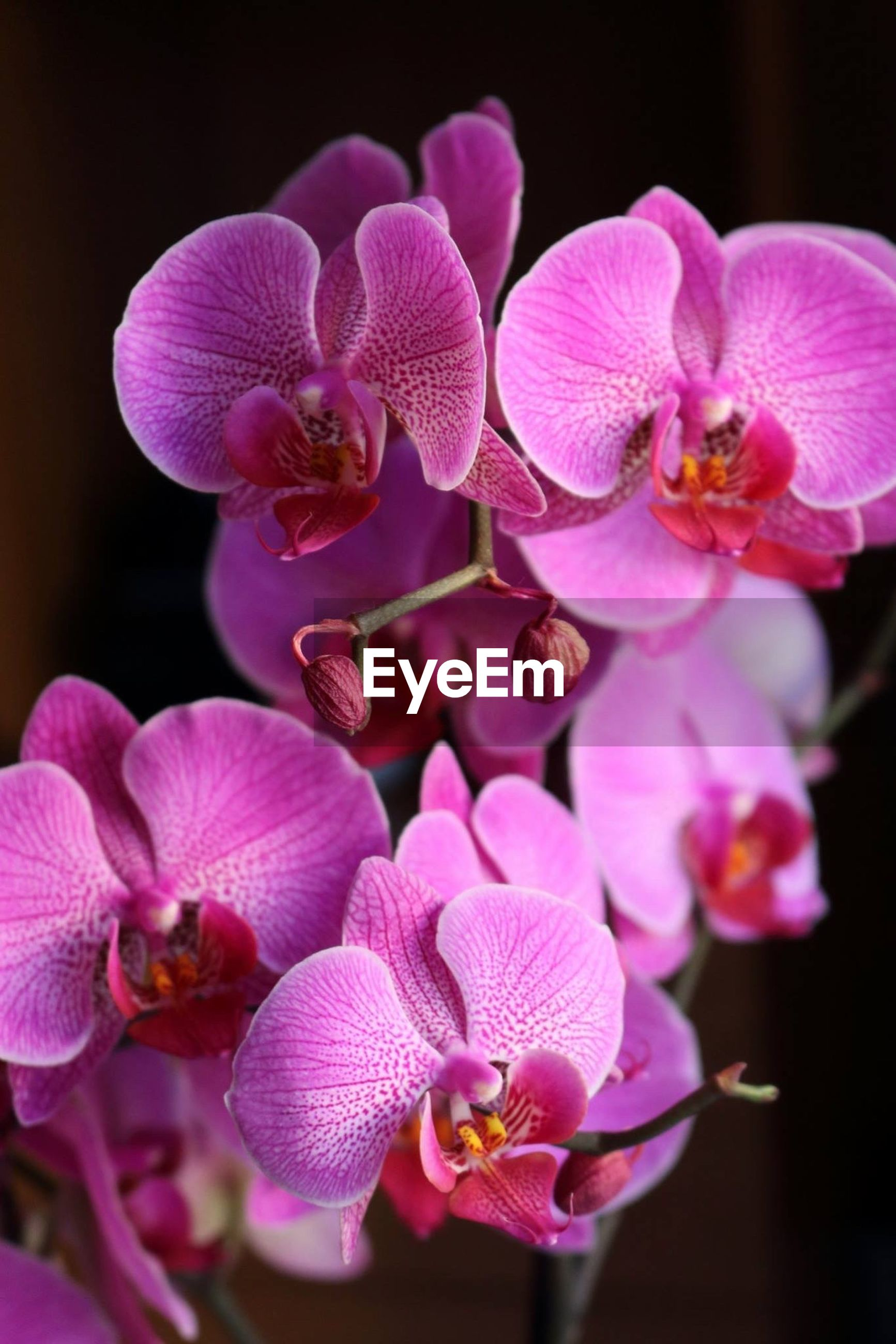 Close-up of pink orchids growing on plant