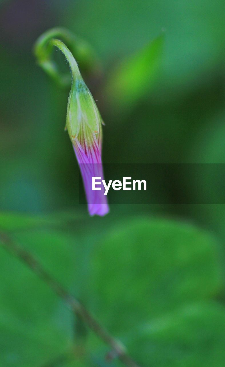 green color, flower, nature, purple, fragility, growth, plant, beauty in nature, close-up, freshness, no people, day, outdoors, flower head