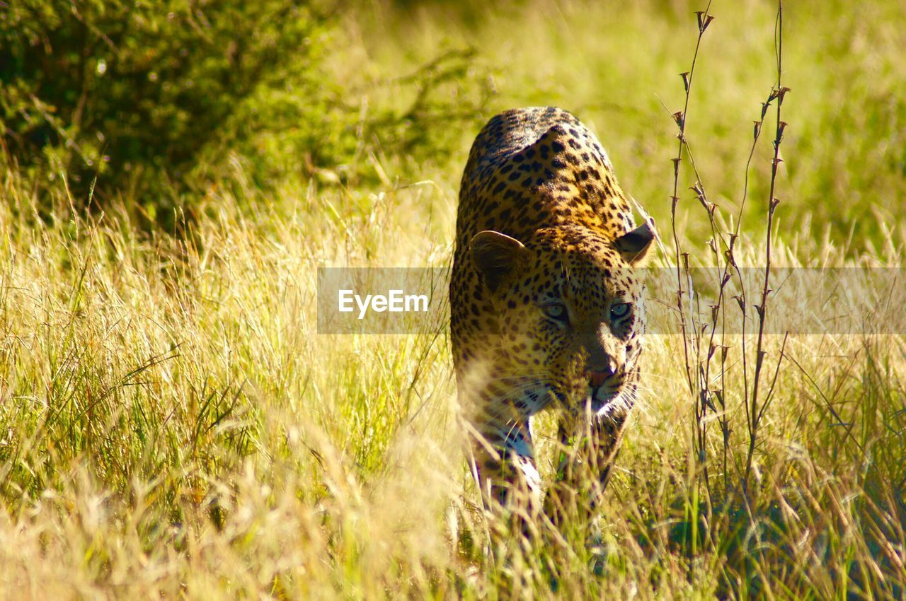 animal, animal themes, animals in the wild, animal wildlife, one animal, grass, plant, big cat, feline, mammal, no people, vertebrate, nature, cat, day, green color, selective focus, leopard, land, outdoors, cheetah