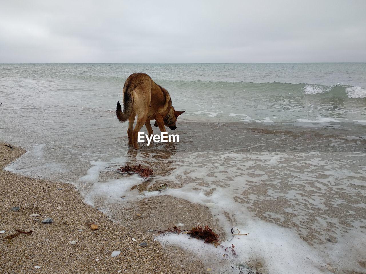 sea, water, horizon over water, horizon, mammal, sky, animal themes, animal, domestic animals, beach, one animal, domestic, land, pets, vertebrate, canine, dog, motion, beauty in nature, no people