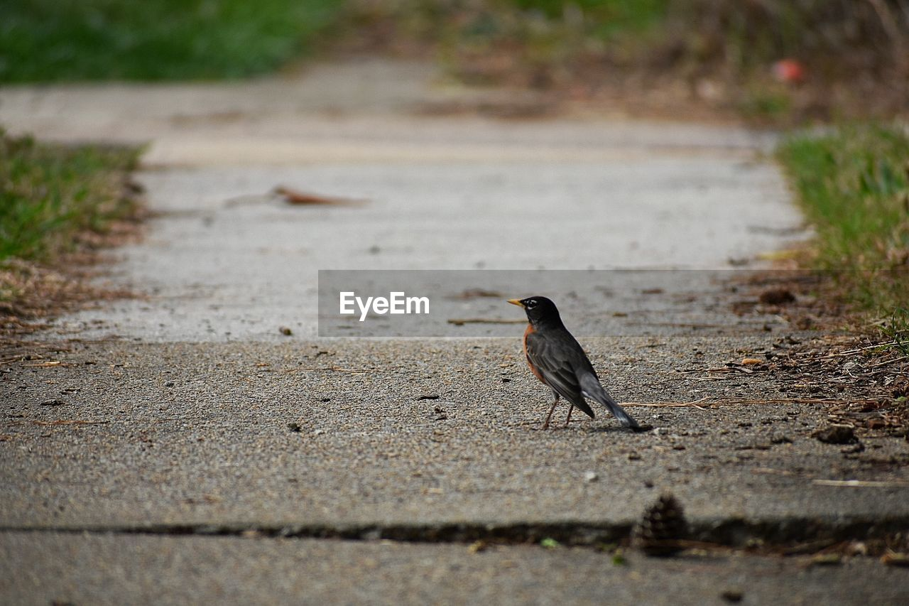 animal themes, animal, one animal, vertebrate, animal wildlife, animals in the wild, bird, selective focus, day, no people, nature, footpath, outdoors, full length, perching, sparrow, road, songbird, land, focus on foreground