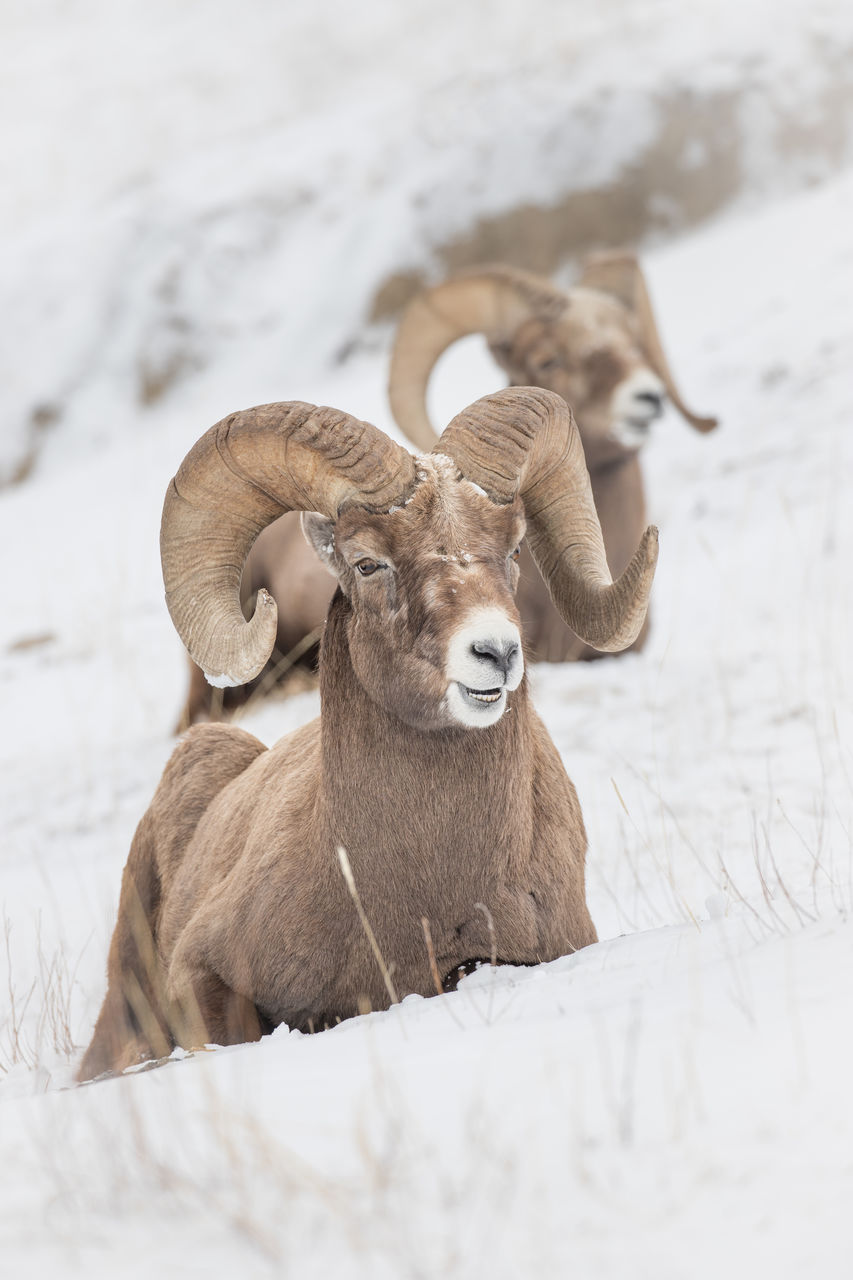mammal, animal themes, animal, domestic animals, one animal, vertebrate, animal wildlife, pets, domestic, land, no people, livestock, field, nature, horned, herbivorous, cattle, white color, snow, day