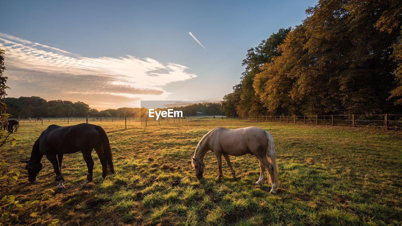 Horses Grazing On Field Against Sky During Sunrise
