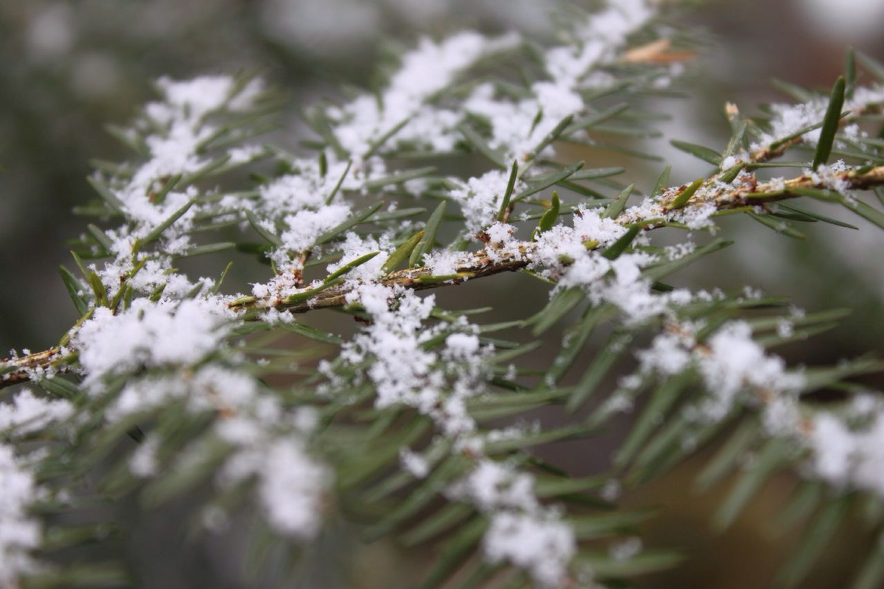 cold temperature, snow, winter, plant, selective focus, beauty in nature, frozen, growth, nature, close-up, day, no people, white color, ice, tree, tranquility, outdoors, branch, frost, lichen