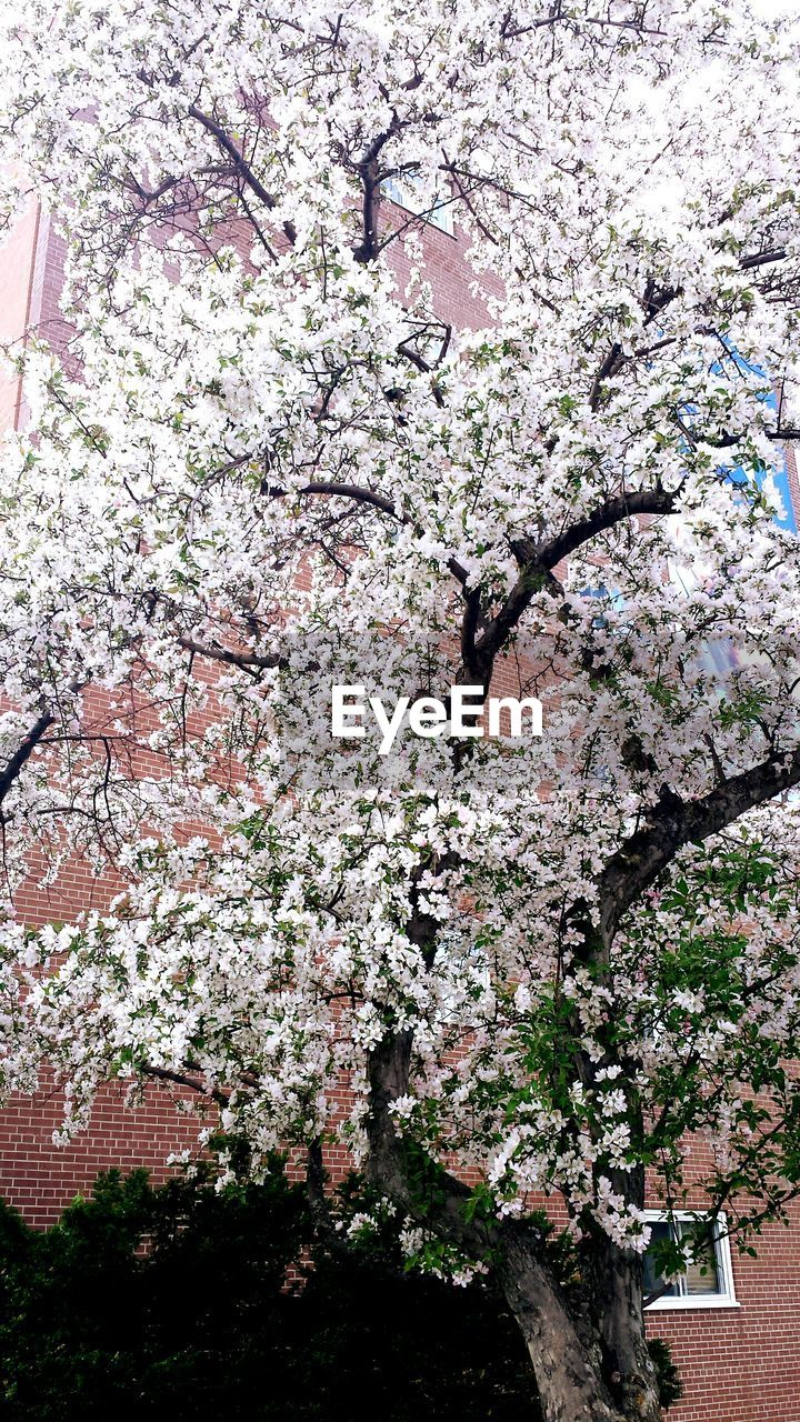 tree, blossom, flower, branch, growth, springtime, cherry tree, nature, beauty in nature, apple blossom, fragility, no people, freshness, pink color, low angle view, day, outdoors, close-up