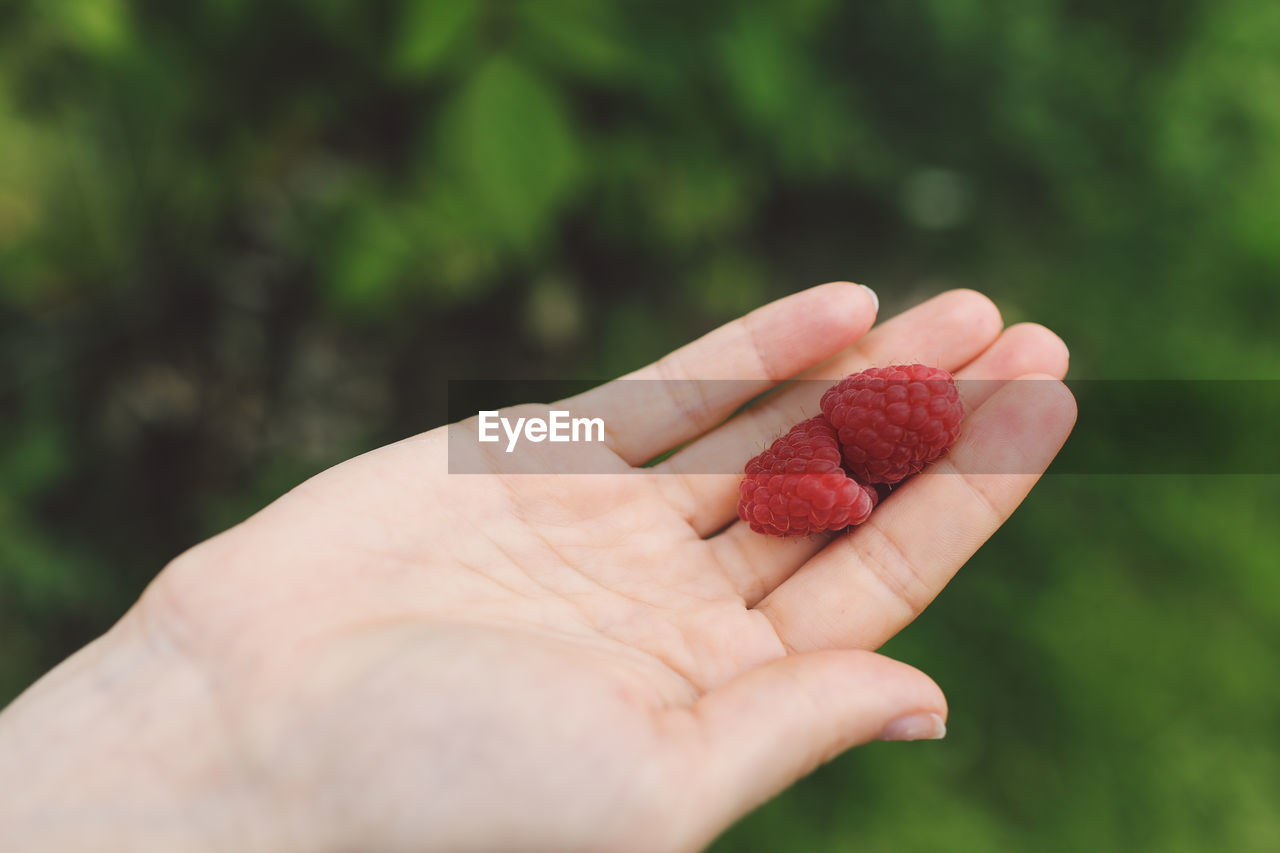 Close-up of cropped hand holding two raspberries