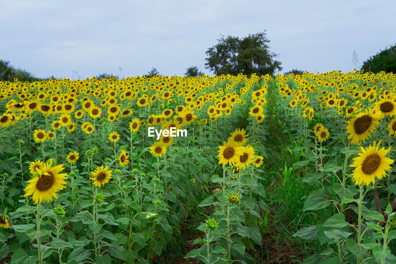 SUNFLOWERS IN FIELD AGAINST SKY