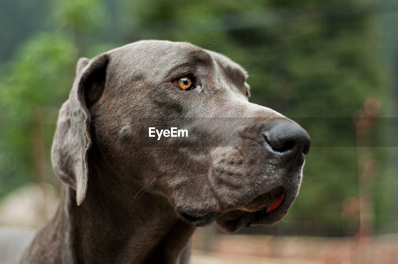 CLOSE-UP OF Great Dane LOOKING AWAY