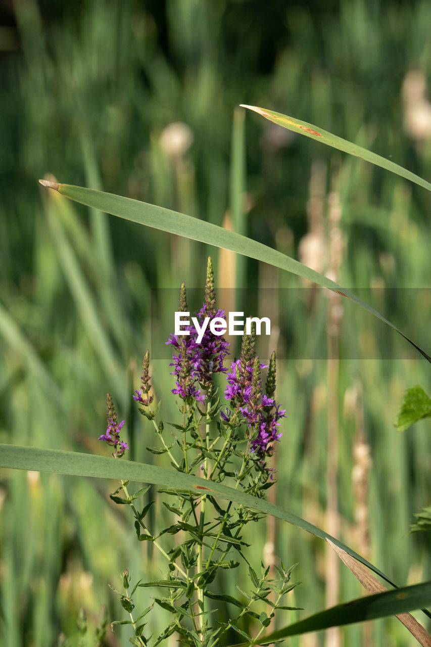 plant, flowering plant, flower, growth, beauty in nature, focus on foreground, fragility, vulnerability, freshness, close-up, no people, nature, day, green color, purple, plant stem, tranquility, botany, plant part, outdoors, flower head, lavender